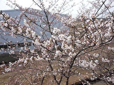 株式会社コマガタ 桜開花2