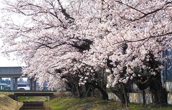 コマガタ 社屋脇の桜